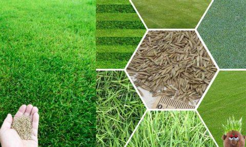 çim tohumları, çim çeşitleri